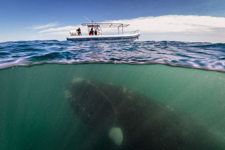 A-southern-right-whale-mother-seen-under-a-whale-watching-boat-in-Peninsula-Valdez-Argentina-MAIN-2939965