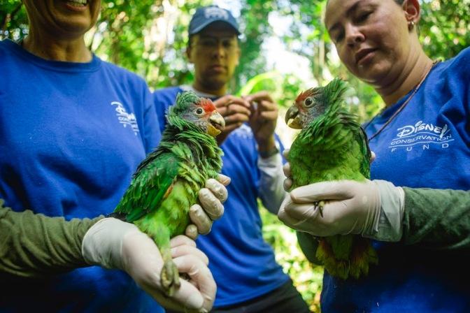 ONG brasileira recebe apoio da Disney para proteger Papagaio-de-cara-roxa